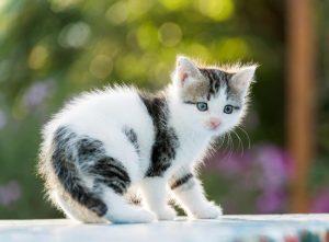 Aegean Cat Breed